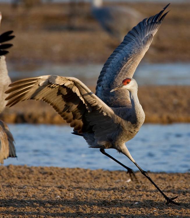 PlatteRiver2008.11-Sandhill Cranes make their annual stopover along the Platte River in central Nebraska during the spring migration.