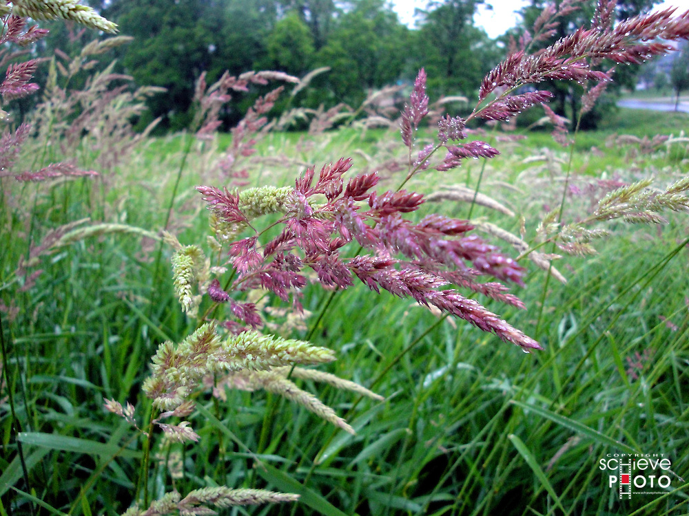 A field of purple grass.