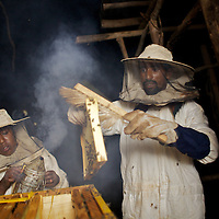 Wubalem and her husband Tsega, use smoke to sedate bees during the harvesting of honey from one of their modern hives in Mecha village. <br /> <br /> Wubalem Shiferaw, age 23, lives in the village of Mecha with her husband Tsega Bekele, age 33, and their daughter Rekebki, age 4. Wubalem remembers her grandparents harvesting honey. She has maintained this tradition while moving to modern hives which produce a far greater yield of honey. Wubalem is a member of the Mecha village Cooperative which brings together local women beekeepers allowing them to share insights and build a credit union. The Mecha village Cooperative is not yet a member of the Zembaba Union. Wubalem's husband Tsega is a priest and a tailor. <br /> <br /> Harvesting honey supplements the income of small farmers in the Ethiopian region of Amhara where there is a long tradition of honey production. However, without the resources to properly invest in production and the continued use of of traditional, low-yielding hives, farmers have not been able to reap proper reward for their labour. <br /> <br /> The formation of the Zembaba Bee Products Development and Marketing Cooperative Union is an attempt to realize the potential of honey production in Amhara and ensure that the benefits reach small producers. <br /> <br /> By providing modern, high-yield hives, protective equipment and training to beekeepers, the Cooperative Union helps increase production and secure a steady supply of honey for which there is growing demand both in and beyond Ethiopia. The collective processing, marketing and distribution of Zembaba's &quot;Amar&quot; honey means that profits stay within the cooperative network of 3,500 beekeepers rather than being passed onto brokers and agents. The Union has signed an agreement with the multinational Ambrosia group to supply honey to the export market. <br /> <br /> Zembaba Bee Products Development and Marketing Cooperative Union also provides credit to individual members and trains carpenters in the production of modern hives. <br /> <br /> Photo: Tom Pietrasik<br /> Mecha
