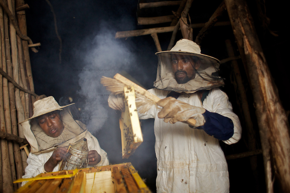 Wubalem and her husband Tsega, use smoke to sedate bees during the harvesting of honey from one of their modern hives in Mecha village. <br /> <br /> Wubalem Shiferaw, age 23, lives in the village of Mecha with her husband Tsega Bekele, age 33, and their daughter Rekebki, age 4. Wubalem remembers her grandparents harvesting honey. She has maintained this tradition while moving to modern hives which produce a far greater yield of honey. Wubalem is a member of the Mecha village Cooperative which brings together local women beekeepers allowing them to share insights and build a credit union. The Mecha village Cooperative is not yet a member of the Zembaba Union. Wubalem's husband Tsega is a priest and a tailor. <br /> <br /> Harvesting honey supplements the income of small farmers in the Ethiopian region of Amhara where there is a long tradition of honey production. However, without the resources to properly invest in production and the continued use of of traditional, low-yielding hives, farmers have not been able to reap proper reward for their labour. <br /> <br /> The formation of the Zembaba Bee Products Development and Marketing Cooperative Union is an attempt to realize the potential of honey production in Amhara and ensure that the benefits reach small producers. <br /> <br /> By providing modern, high-yield hives, protective equipment and training to beekeepers, the Cooperative Union helps increase production and secure a steady supply of honey for which there is growing demand both in and beyond Ethiopia. The collective processing, marketing and distribution of Zembaba's &quot;Amar&quot; honey means that profits stay within the cooperative network of 3,500 beekeepers rather than being passed onto brokers and agents. The Union has signed an agreement with the multinational Ambrosia group to supply honey to the export market. <br /> <br /> Zembaba Bee Products Development and Marketing Cooperative Union also provides credit to individual members and trains carp