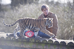 © London News Pictures. 04/02/2013. Chairman of the Aspinall Foundation Damian Aspinall plays with endangered Siberian tiger cub Kazimir. Howletts Wild Animal Park in near Canterbury, Kent, officially announces endangered Siberian cubs debut. Siberian or Amur tigers are endangered in the wild and it is estimated that only 400 remain. Picture credit should read Manu Palomeque/LNP