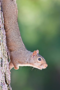 A gray squirrel coming down the tree trunk.