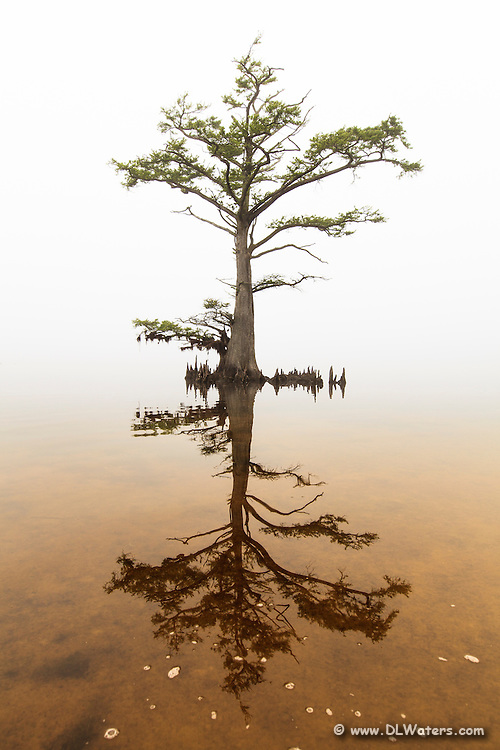Bald Cypress tree on Albemarle Sound in the fog. Cypress trees can live up to 600 years and flourish on the shallow sounds of the Outer Banks of NC.