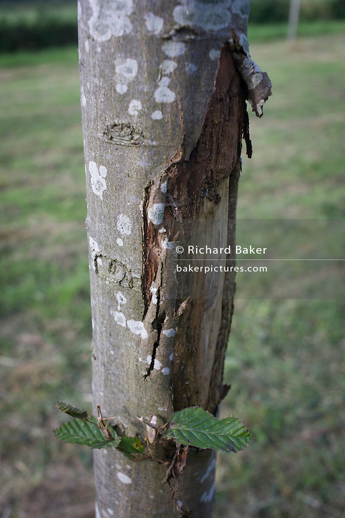 Damage to the bark of a young hornbeam growing in a Herefordshire meadow.