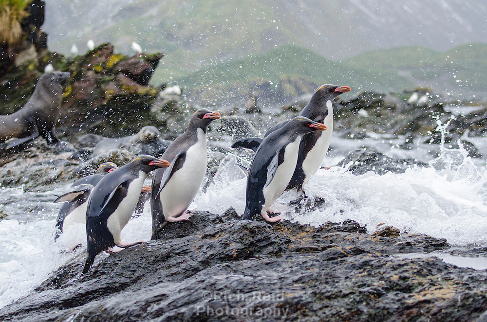 Macaroni penguins exiting the water at Cooper Bay on South Georgia.