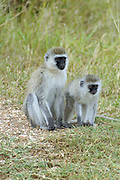 Africa, Tanzania, Lake Manyara National Park, Vervet Monkey (Chlorocebus pygerythrus) Mother and young