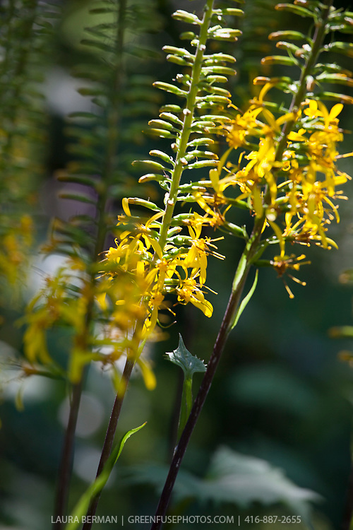 The tall spike of yellow flowers of The Rocket Ligularia (Ligularia dentata 'The Rocket'). The Rocket Ligularia (Ligularia stenocephala 'The Rocket').