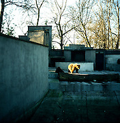 Warsaw Zoo, Poland, 1/12/2009. Ursus Arctos (Linnaeus, 1758).