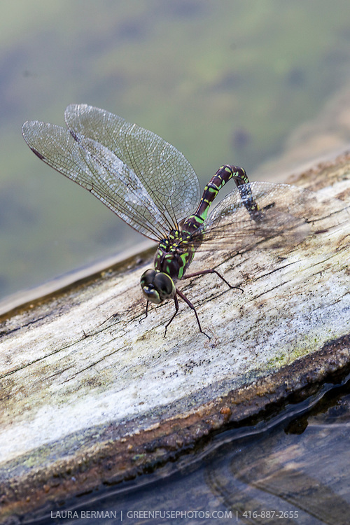 Green Darner dragonfly on a log. (Anax junius)