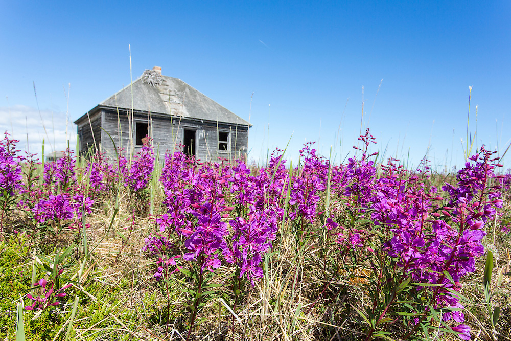 Canada, Manitoba, Fireweed blossoms in meadow surrounding abandoned Hudson Bay trading post at Egg Island