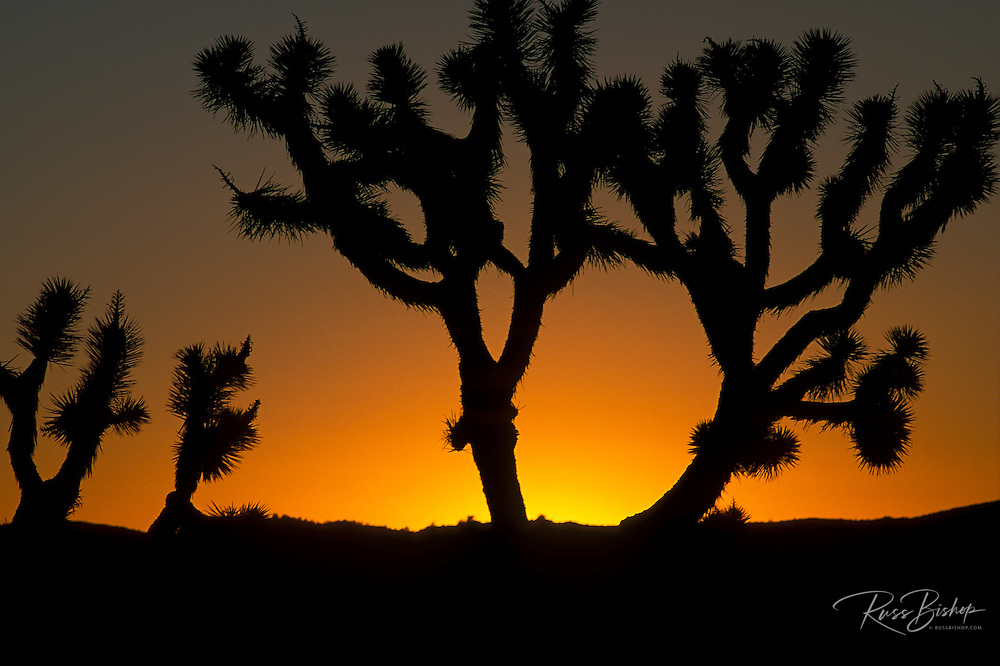 Silhouette of Joshua Trees (Yucca brevifolia) at sunset, Joshua Tree National Park, California