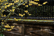 Hamamelis intermedia 'Arnold's Promise Witch Hazel' and wall detail near Reservoir 1, Mount  Tabor Park.  In 1903, John Charles Olmsted of the Massachusetts-based landscape design firm Olmsted Brothers recommended that a city park be developed at Mount Tabor.  Portland Parks Superintendent Emanuel T. Mische, who had worked at Olmsted Brothers, consulted with Olmsted on the park layout and integration of the reservoirs into the park design.  This is one of three open reservoirs at Mt Tabor Park and of five total in Portland.  The 3 open reservoirs in Mount Tabor Park were placed in the National Register of Historic Places on January 15, 2004.  Environmental Protection Agency (EPA) regulation: Long Term 2 Enhanced Surface Water Treatment Rule, referred to as the LT2 rule imposes new requirements that open water reservoirs be covered, buried or additionally treated.  This applies to Portland's five open reservoirs and to the unfiltered Bull Run sourse supplying them.