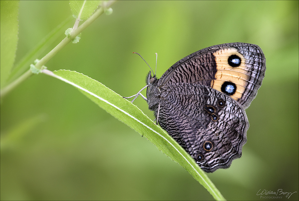 Wood-nymph Butterfly or Grayling Butterfly (Cercyonis pegala)