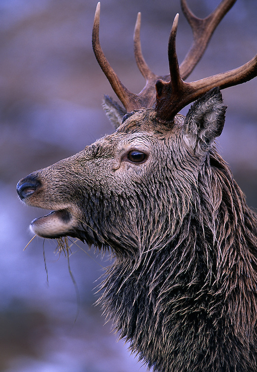 Portrait of red deer stag in winter