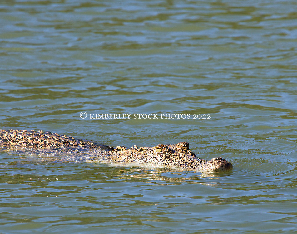 A crocodile surfaces in the Sale River on the Kimberley coast.