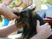 Pedigree Dog - Hands comb dogs hair in preparation for a dogshow