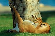 ESP, Spanien: Streunender Hund, Haushund (Canis lupus familiaris), nach dem Schlafen, er liegt entspannt auf dem Rücken und streckt seine Beine, Mojacar, Andalusien | ESP, Spain: Stray dog, domestic dog (Canis lupus familiaris), after a sleep , relaxed laying on its back stretching its legs, Mojacar, Andalusia |