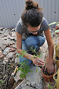 My fig tree basin also had tepary bean vines growing in it. Time for a transplant.