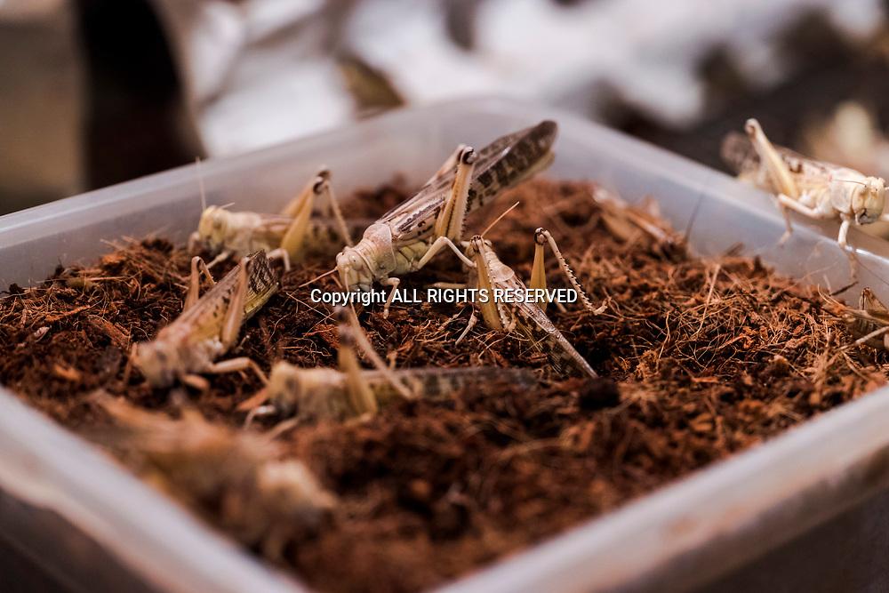 Lucens, février 2018. Ayer GRIFARM père et fils habitent à Lucens dans le canton de Vaud. Eleveurs d'insectes pour nourrir d'autres espèces. Exploitation dans leur cave. Pontes. © Olivier Vogelsang