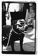 Dog wearing sunglasses, Deptford, London, 2010