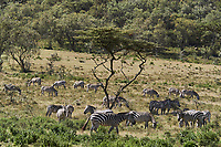 Kenya, region de Nakuru, parc national de Hell's Gate, zebre // Kenya, Nakuru county, Hell's Gate National Park, zebra