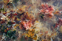 Seaweeds washed ashore and lying in shallow water, Agulhas National Park, Western Cape, South Africa,