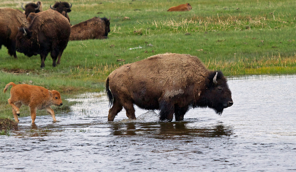 Buffalo and calf stepping into the Madison River, Yellowstone National Park
