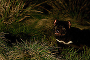 """Wild Tasmanian Devil photographed using handheld remote control trigger at Kingsrun, Geoff King's """"devil restaurant"""" on his land near Arthur River, north west Tasmania. The devils are lured using a staked-out roadkill wallaby, under spotlights beside an old fishing hut on the beach. Tasmania's northwest is the only area not yet affected by Devil Facial Tumour Disease, which has caused a population crash elsewhere on the island.  ..The disease is a contagious cancer that scientists are only beginning to understand, but has spread rapidly through the population, leaving the devil listed as endangered. In December 2009, it was announced that the disease may be related a peripheral nerve cell, called the Schwann cell, which has led some hopes for preserving the devil, at least in terms of quarantine insurance populations."""