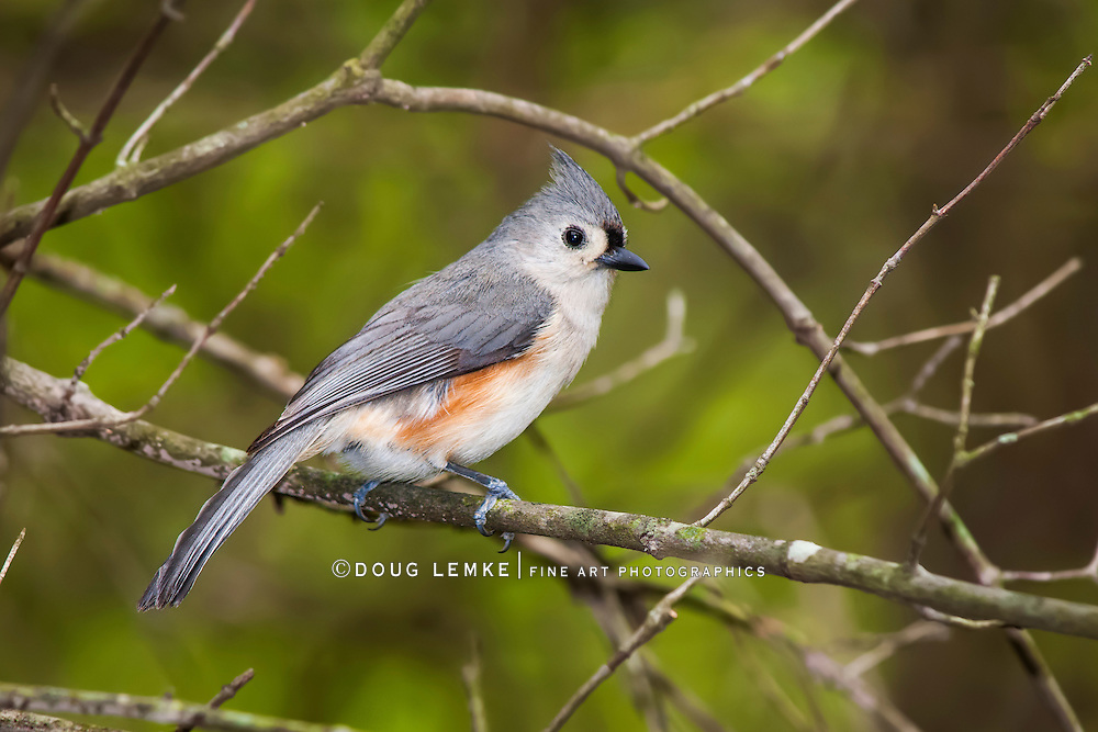 A Cute Little Bird, The Tufted Titmouse, Parus bicolor, Posing In Profile With It's Crest Up, Southwestern Ohio, USA