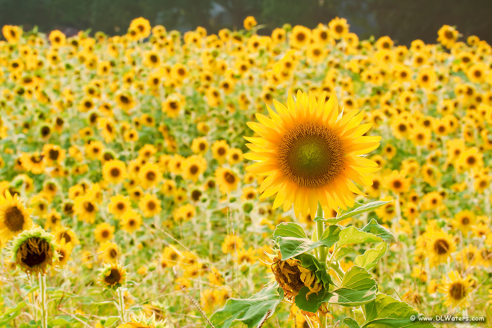 A summer field of sunflowers in Currituck County.