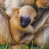 Rare: naissance d'un gibbon en captivite