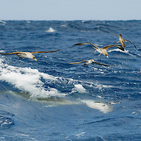 Cory shearwater, Calonectris diomedea, and common dolphins, delpinus delpis, hunting horse mackerels close to the surface in a rough sea.<br /> Pico, Azores, Portugal