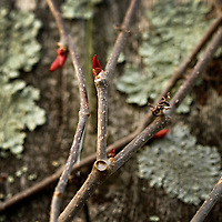 A Virginia creeper vine begins to bud on a lichen-covered fence in Lexington, Ky., on 4/12/10. Photo by David Stephenson