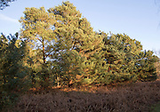 Pine trees with gorse and heather plants on heathland, Sutton Heath Suffolk, England, UK