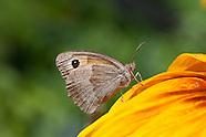 Maniola jurtina - Meadow Brown
