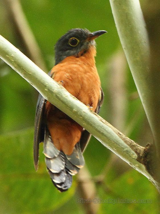 Chestnut-breasted Cuckoo, Cacomantis castaneiventris, Papua New Guinea, by Markus Lilje