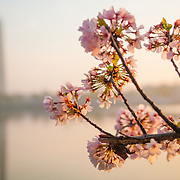 Cherry blossom flowers catch the early morning light (as does a spider web on the flowers) with the Washington Monument in the background at left of frame. The Yoshino Cherry Blossom trees lining the Tidal Basin in Washington DC bloom each early spring. Some of the original trees from the original planting 100 years ago (in 2012) are still alive and flowering. Because of heatwave conditions extending across much of the North American continent and an unusually warm winter in the Washington DC region, the 2012 peak bloom came earlier than usual.
