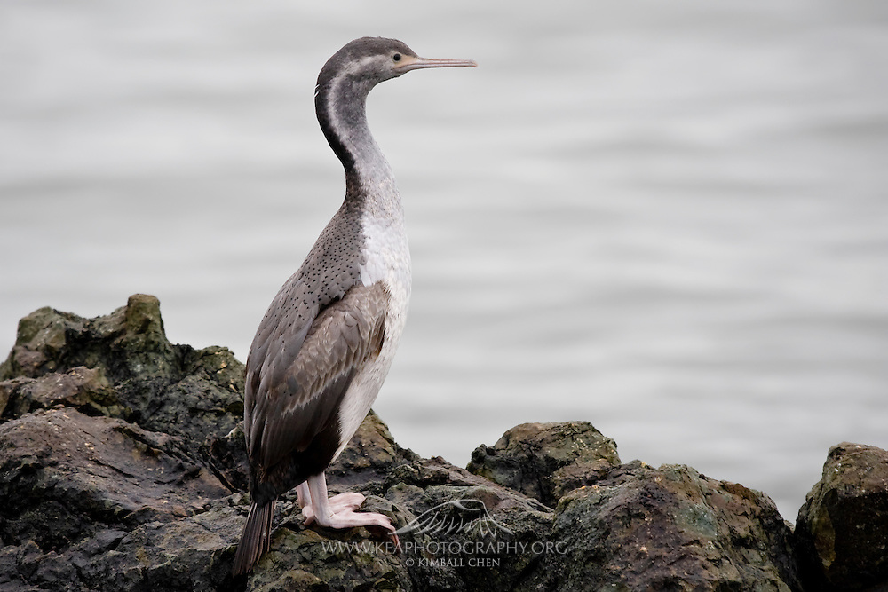 Spotted Shag, Riverton, New Zealand