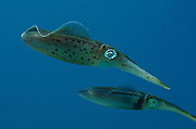 Caribbean Reef Squid (Sepioteuthis sepioidea)<br /> BONAIRE, Netherlands Antilles, Caribbean<br /> HABITAT & DISTRIBUTION:<br /> Florida, Bahamas, Caribbean, Gulf of Mexico south to Brazil.