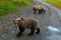 A pair North American brown bear cubs crossing a dirt road, coastal grizzly bear, (Ursus arctos horribilis), Lake Clark National Park, Alaska, United States of America