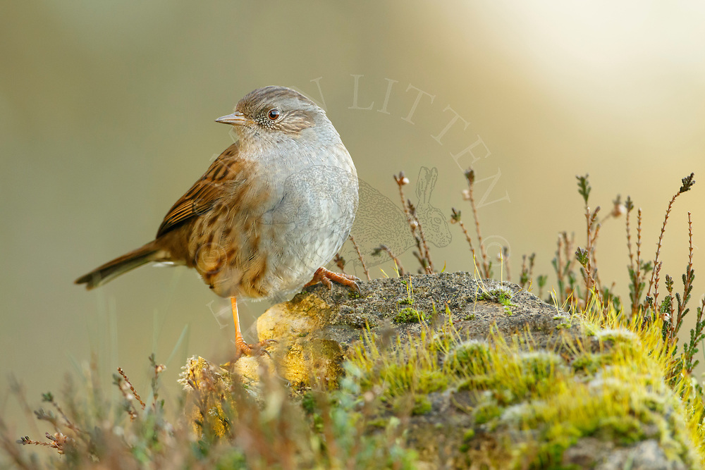 Dunnock (Prunella modularis) adult perched on moss covered rock in heathland, Norfolk, UK.