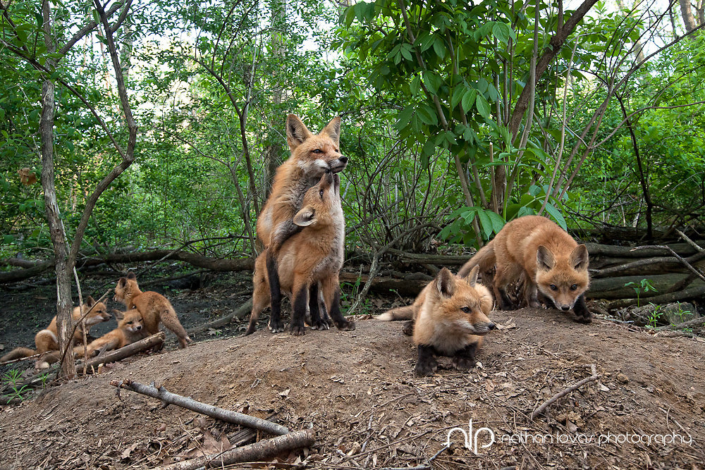 Red fox with kits at den