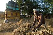 India. Rice Cultivation in Tamil Nadu