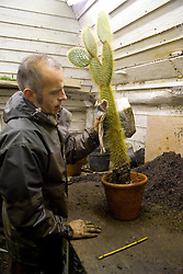 Lifting cacti and succulents for overwintering. Potting up Opuntia using newspaper