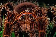 Santa Barbara, Ca<br />Hairy Tarantella<br />Captive