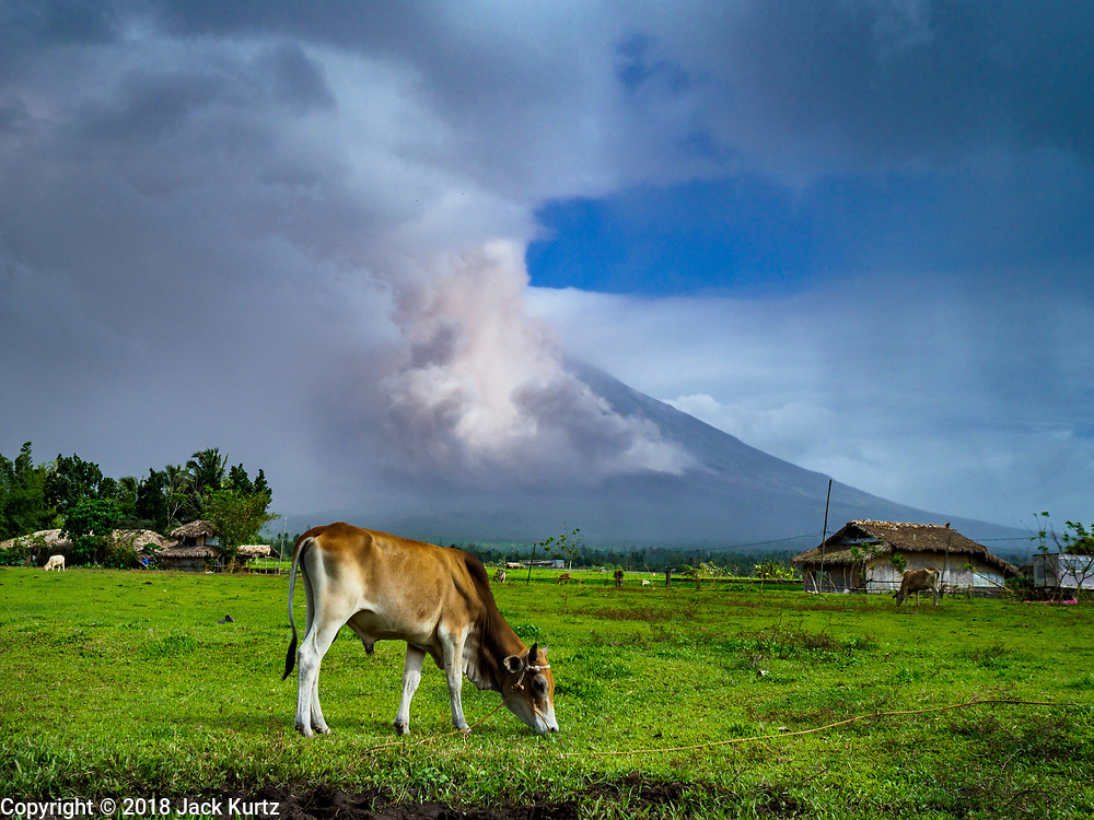 "22 JANUARY 2018 - CAMALIG, ALBAY, PHILIPPINES: A cow grazes about 10 kilometers from Mayon volcano while the volcano erupts. There were a series of eruptions on the Mayon volcano near Legazpi Monday. The eruptions started Sunday night and continued through the day. At about midday the volcano sent a plume of ash and smoke towering over Camalig, the largest municipality near the volcano. The Philippine Institute of Volcanology and Seismology (PHIVOLCS) extended the six kilometer danger zone to eight kilometers and raised the alert level from three to four. This is the first time the alert level has been at four since 2009. A level four alert means a ""Hazardous Eruption is Imminent"" and there is ""intense unrest"" in the volcano. The Mayon volcano is the most active volcano in the Philippines. Sunday and Monday's eruptions caused ash falls in several communities but there were no known injuries.    PHOTO BY JACK KURTZ"