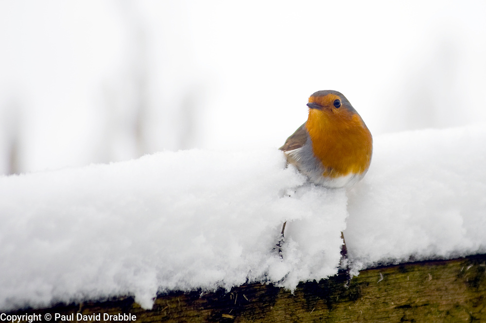 The UK's favourite bird, A Robin Red Breast (scientific name Erithacus rubecula) struggles to perch on a fence in the Snow during a particularly cold UK winter.<br />