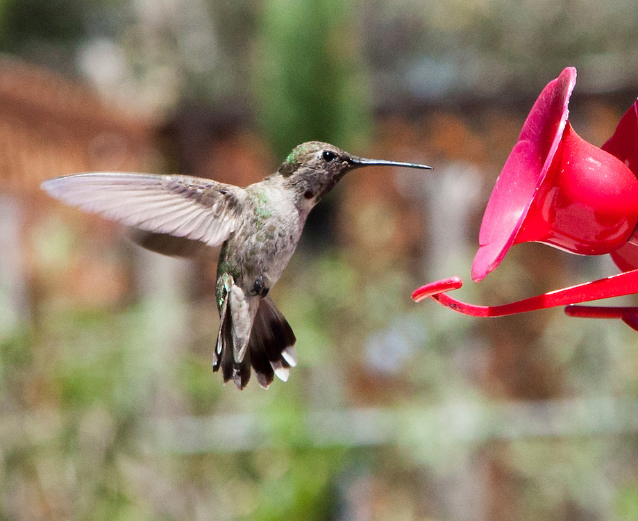 incredible photographs of Hummingbirds