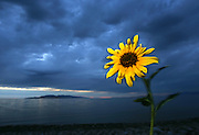 A flower is contrasted by the dark clouds of a summer storm on Antelope Island in Utah's Great Salt Lake.