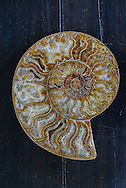 Large Ammonite Snail Fossils